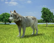3D model of Gray Wolf
