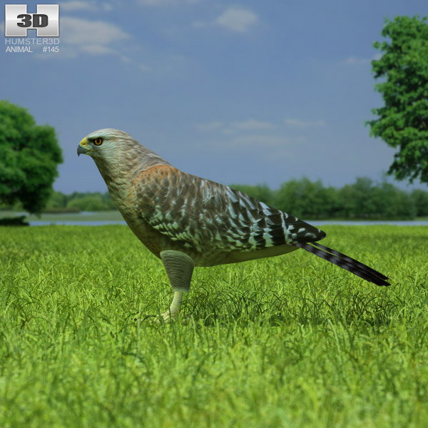 Red-Shouldered Hawk 3d model