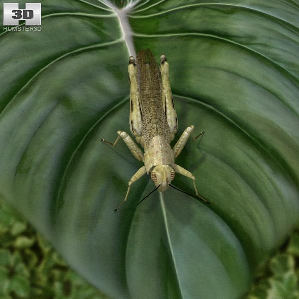 Desert Locust 3d model