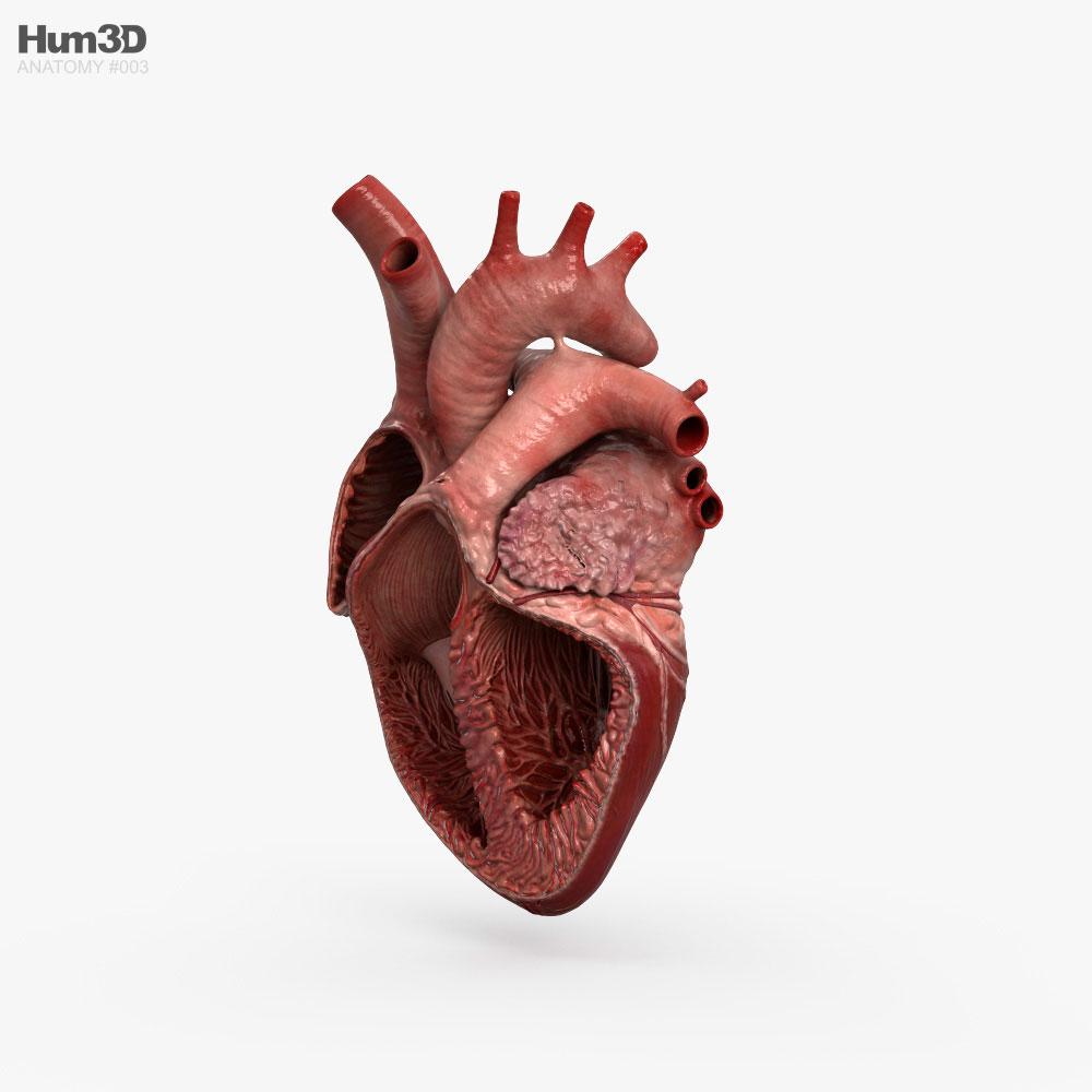 Human Heart Cross Section 3d model