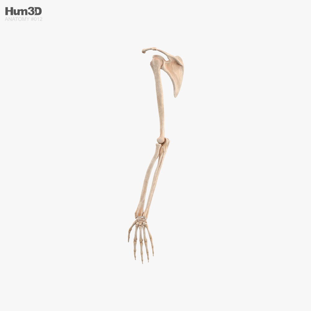Human Arm Bones 3d model