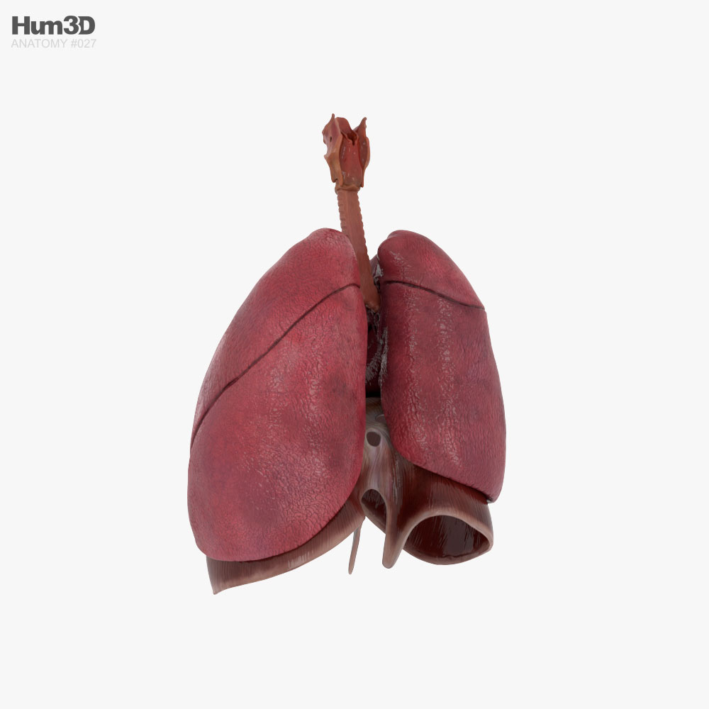 Human Respiratory System 3d model