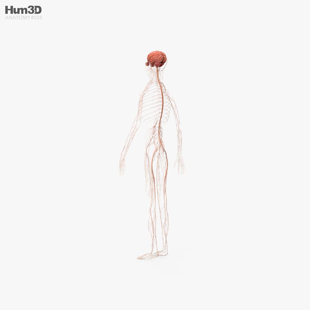 Human Nervous System 3d model