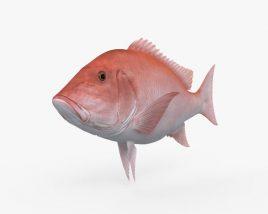 Northern Red Snapper HD 3D model