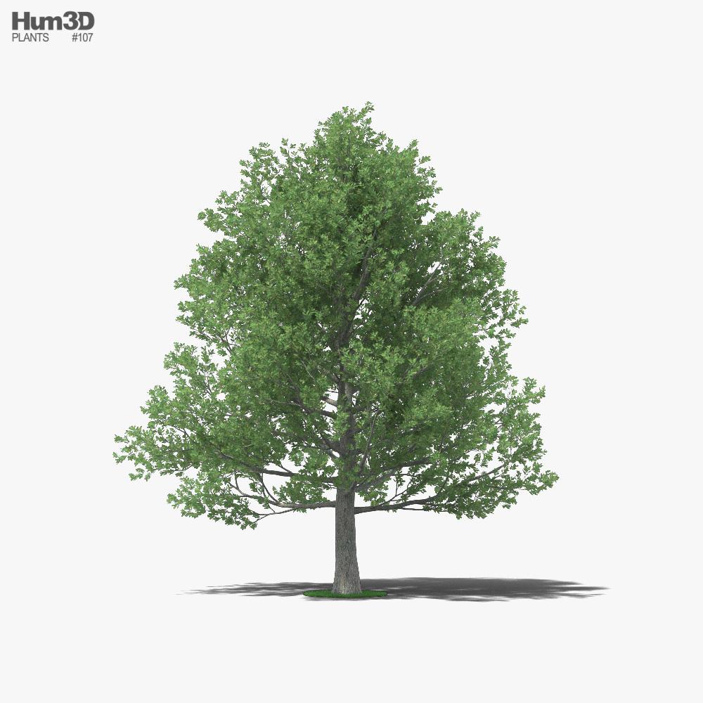 Shingle Oak 3d model