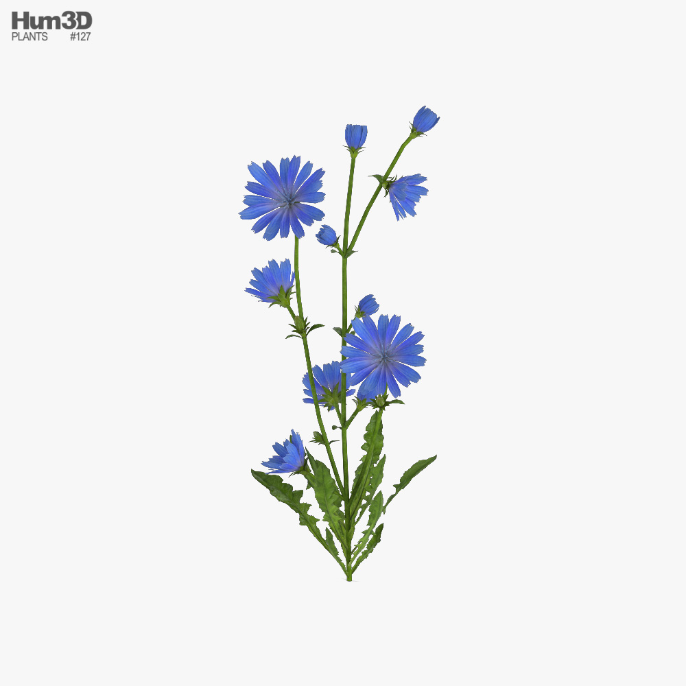 Chicory 3d model